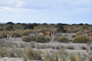 Guanacos on the road!