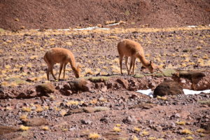 Vicuñas in the natural reserve